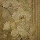 ORCHID BLOOMS by scarletjames