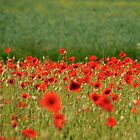 Poppies by Christopher Cullen