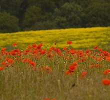 Poppy field in bloom. by sandyprints