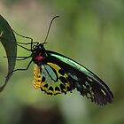 Cairns Birdwing by Brett Morris