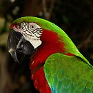 Harlequin Macaw  by Robert Miesner
