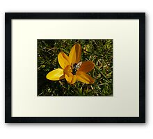 Yellow Crocus - Bumble Bee Framed Print