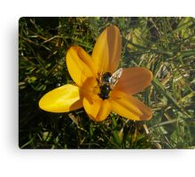Yellow Crocus - Bumble Bee Metal Print