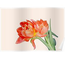 Peachy Tulips Poster