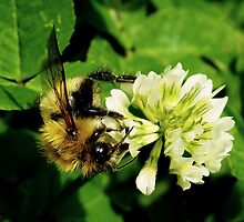 The Hungry Bumble Bee by JJPhotography21