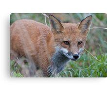Credulous Red Fox  Canvas Print