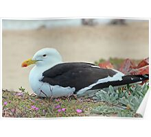 Seagull at rest - Buffelsbay, South Africa Poster