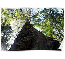 Gentle giant - yellowwood tree in Knysna Forest, South Africa Poster
