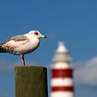 Seagull, Hope Town Lighthouse, Abaco, Bahamas by Shane Pinder