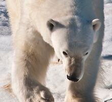 Polar Bear Big Paw, Big Snarl by Karen Nelson