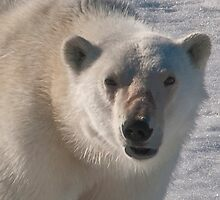 Polar Bear Snarl by Karen Nelson
