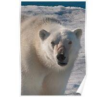 Polar Bear Snarl Poster