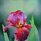 Hot Coal Iris by lanadi