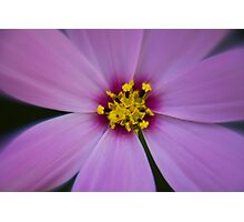 Cosmos closeup Photographic Print