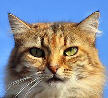 "Maltese ""street"" cat  by ladyzaza"