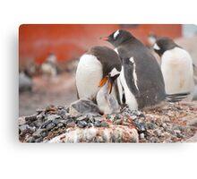 Gentoo Penguins nesting in Antarctica Metal Print