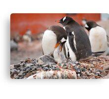 Gentoo Penguins nesting in Antarctica Canvas Print