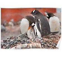 Gentoo Penguins nesting in Antarctica Poster