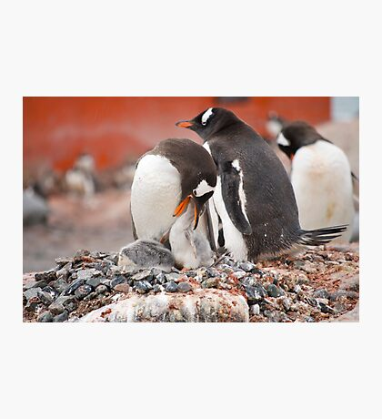 Gentoo Penguins nesting in Antarctica Photographic Print