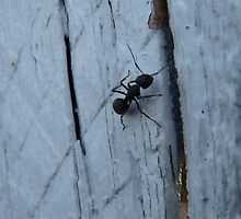 Climbing Ant on Blue Old fence by Marie Gerrow