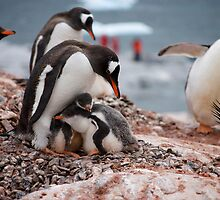 Gentoo penguin chicks sheltering - Antarctica by mcreighton