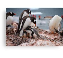 Gentoo penguin chicks sheltering - Antarctica Canvas Print