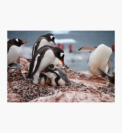 Gentoo penguin chicks sheltering - Antarctica Photographic Print