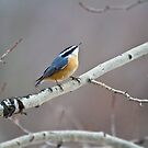 Red-breasted Nuthatch by amontanaview