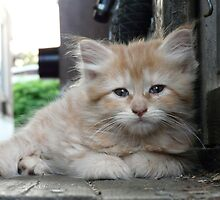 Summer Time Kitten by Marie Gerrow