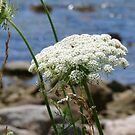 Queen Anne Lace by Adventures