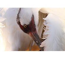 Whooping Crane Preening Photographic Print
