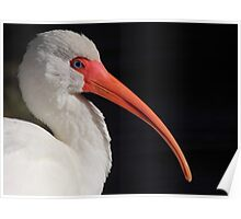 White Ibis Portrait Poster