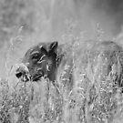 Bison Baby by Jennifer Suttle