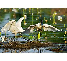 """Bite me!"" Two Royal Spoonbills squable Photographic Print"