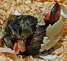 First Breath of Life- Duckling Hatching by Doty