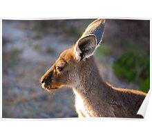 Kangaroo Portrait - Yorke Peninsula Poster