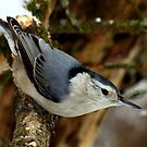 White-breasted Nuthatch (Sitta carolinesis) in Classic Pose by Robert Miesner
