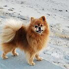 Young Spitz on a stroll by the beach by 29Breizh33