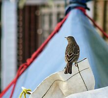 Rock Pippit Bird Sitting On Yacht At Lyme by lynn carter
