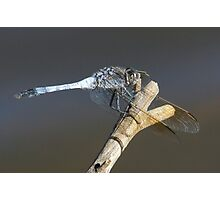 Blue Skimmer Dragonfly Photographic Print