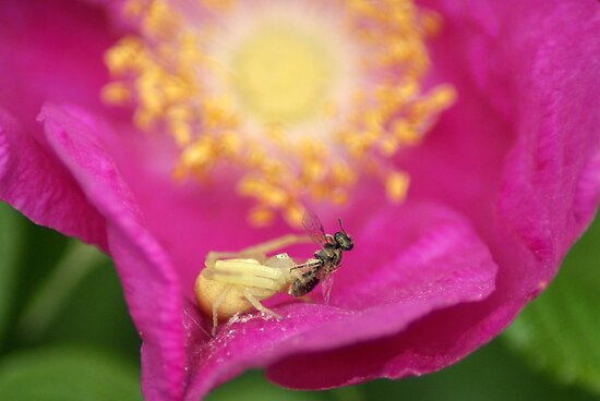 Crab Spider Lunch by crystalseye