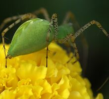 Pregnant Green Lynx Spider by crystalseye