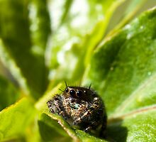 Jumping Spider by crystalseye