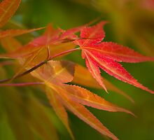 Japanese Maple by crystalseye
