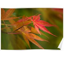 Japanese Maple Poster