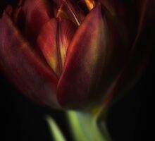 Tulips by Dania Reichmuth
