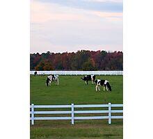 Autumn Cows Photographic Print