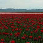 Tulips Fields II by Doug Graybeal
