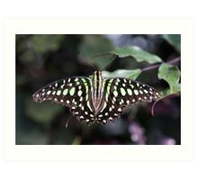 Tailed jay Art Print