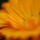 """Summer Intensity- Calendula in My Garden"" by KatWolfe"